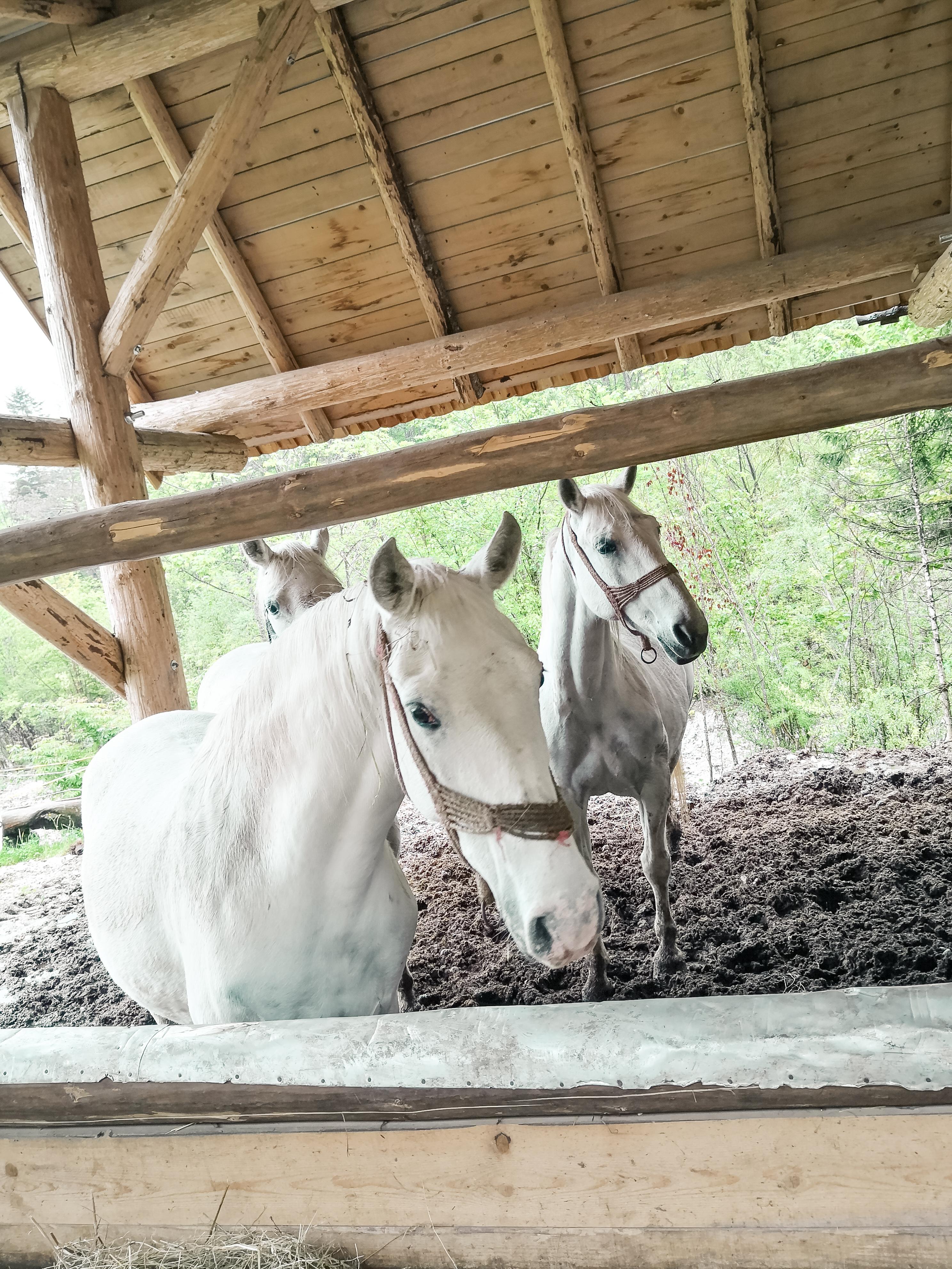 Kmečka hiša ojstrica lipicanci konji